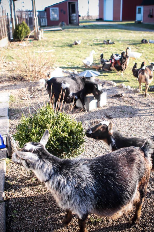 Waiting for Coco: Homesteading in the spring and anticipating baby goats